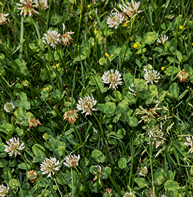 clover weed lawn