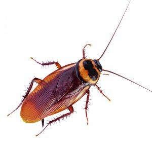 get rid of australian cockroaches