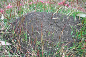 fire ant nest