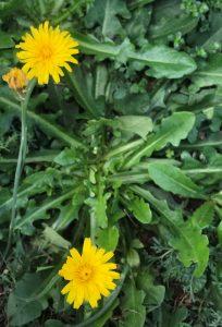 catsear flower