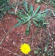 catsear weed