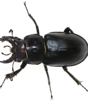 Black-Beetle-PNG-Transparent-Image